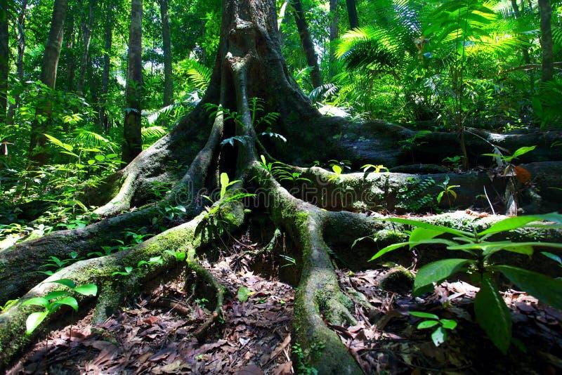 Rainforest tree Mossman Gorge stock photo