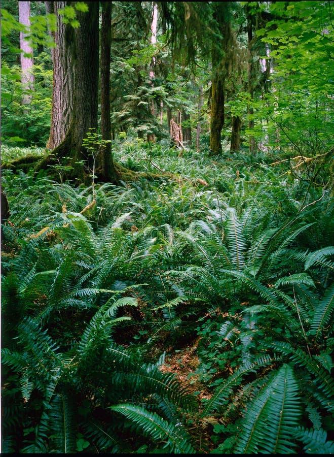 Rainforest Washington arkivfoto