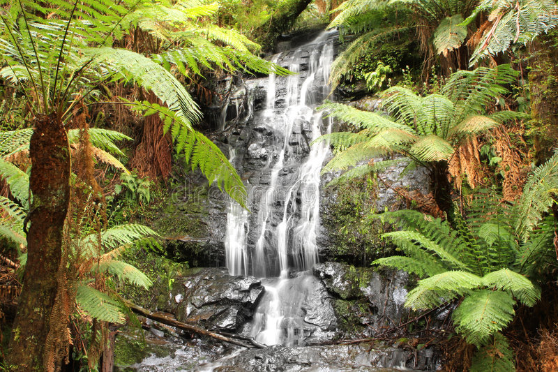 Rainforest Waterfall. Waterfall in a lush temperate rainforest, surrounded by lush treeferns. Victoria, Australia stock images