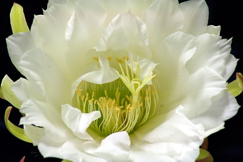 Rainha das flores do cacto da noite imagens de stock