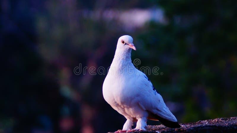 Rainha dos pombos fotos de stock