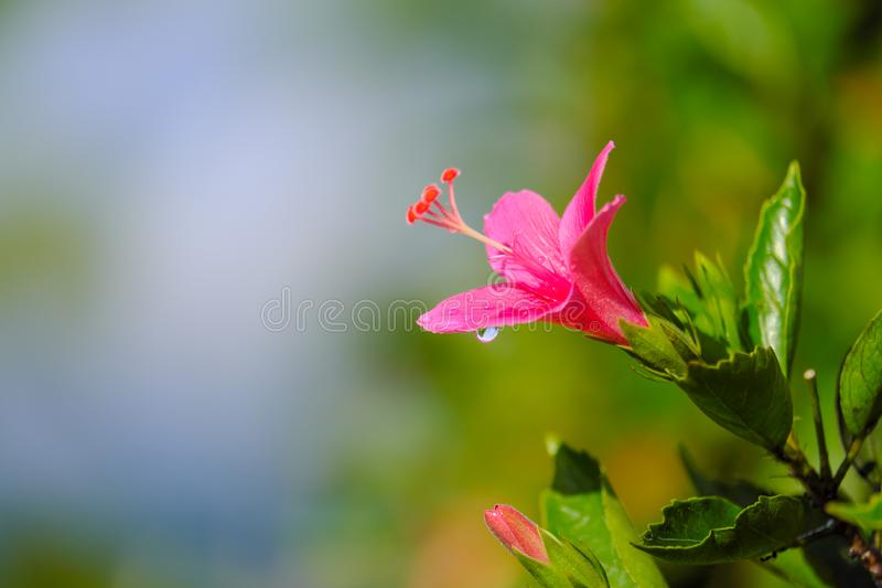 After raining, Close up beautiful pink flower can be called hibiscus rosa, china rose, gudhal or chaba flower and water drop on bl stock photo