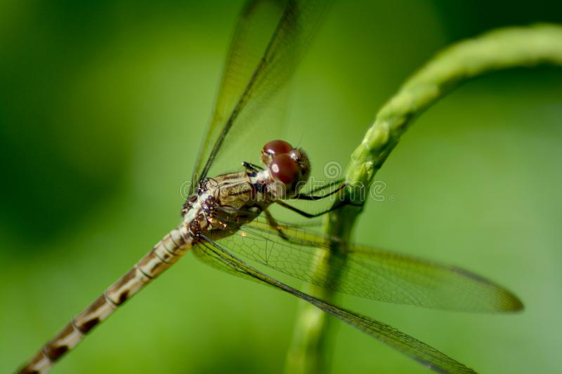 Dragonfly. After the rains come the dragonflies. they inundate the fields looking for insects to feed on and other dragonflies to mate with. They are especially royalty free stock photo