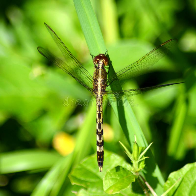 Dragonfly. After the rains come the dragonflies. they inundate the fields looking for insects to feed on and other dragonflies to mate with. They are especially stock photos