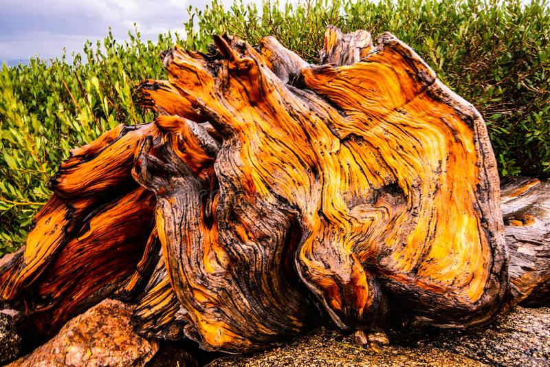 Bristlecone Tree Pine Stump. A rainy day brightens the colors in this bristlecone pine stump in the Colorado Rockies stock images