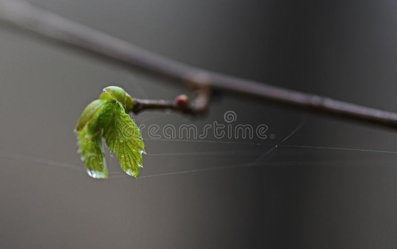 Rainy day. Green wet leaf and spiderweb stock photography