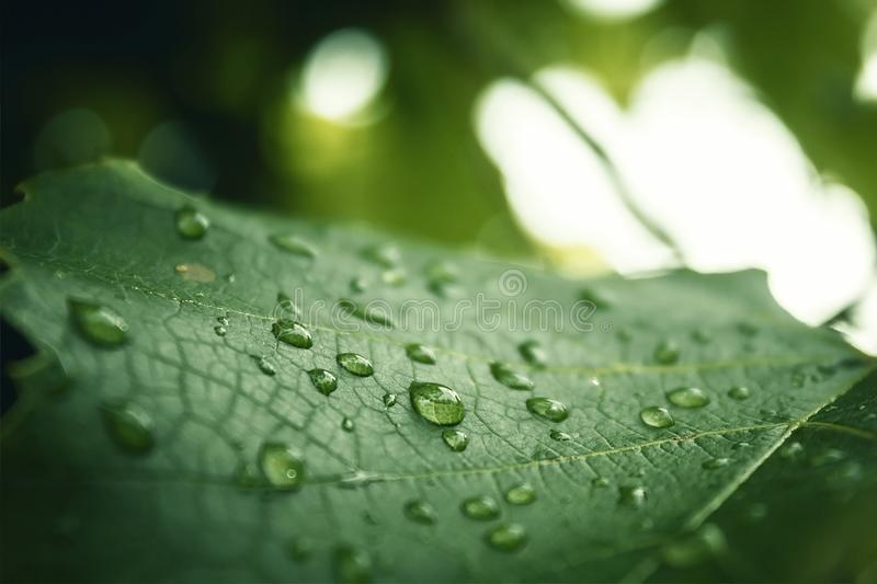 Rainy drop on a leaf. Morning dew stock image