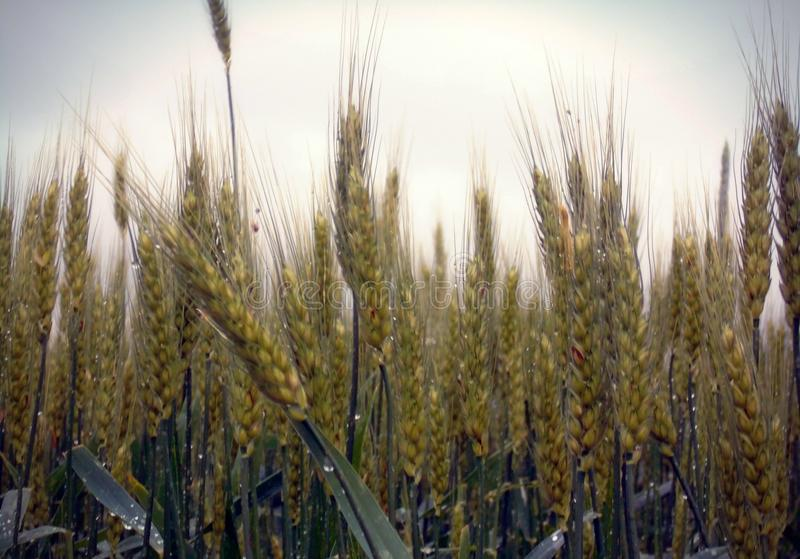 Rainy drops on wheat stock photography