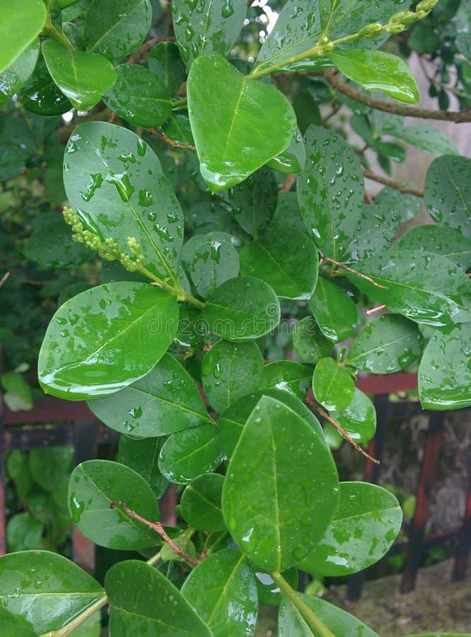 Rainy Leafs of Spring stockbilder