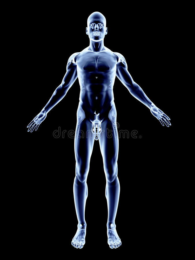 Raio X - anatomia masculina ilustração royalty free