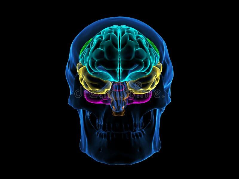 Raio X Brain Front do crânio ilustração royalty free