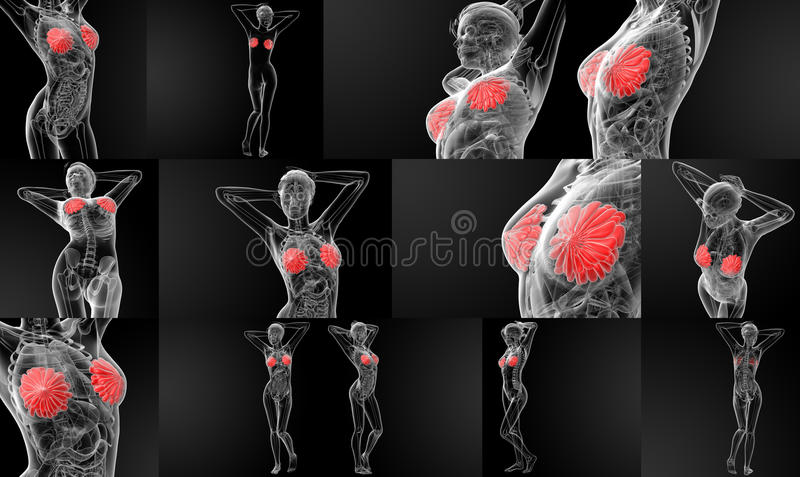 raio X da anatomia do peito fotos de stock