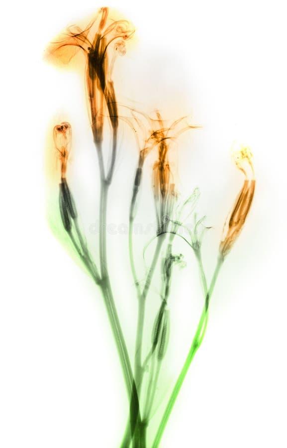 Raio X daylily de flores fotografia de stock