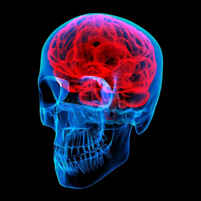 Raio de cérebro humano X ilustração royalty free