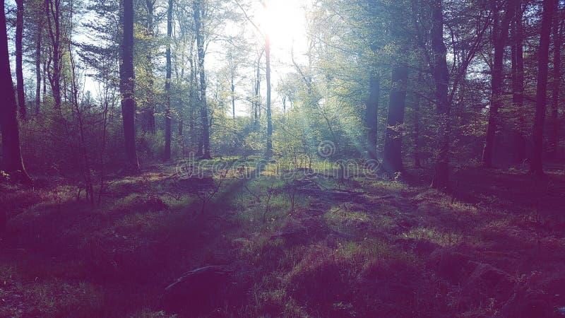 Raio de sol da floresta imagem de stock