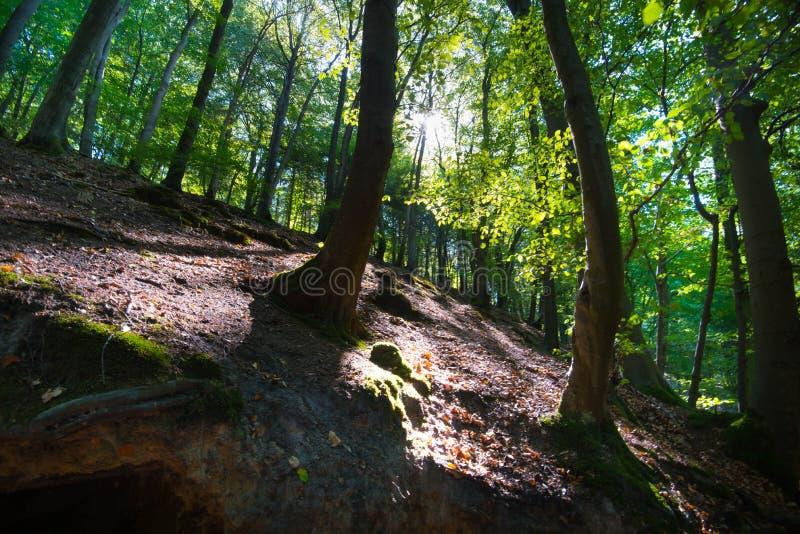 Raio de sol na floresta de Teutoburger em Westphalia em Alemanha imagem de stock royalty free