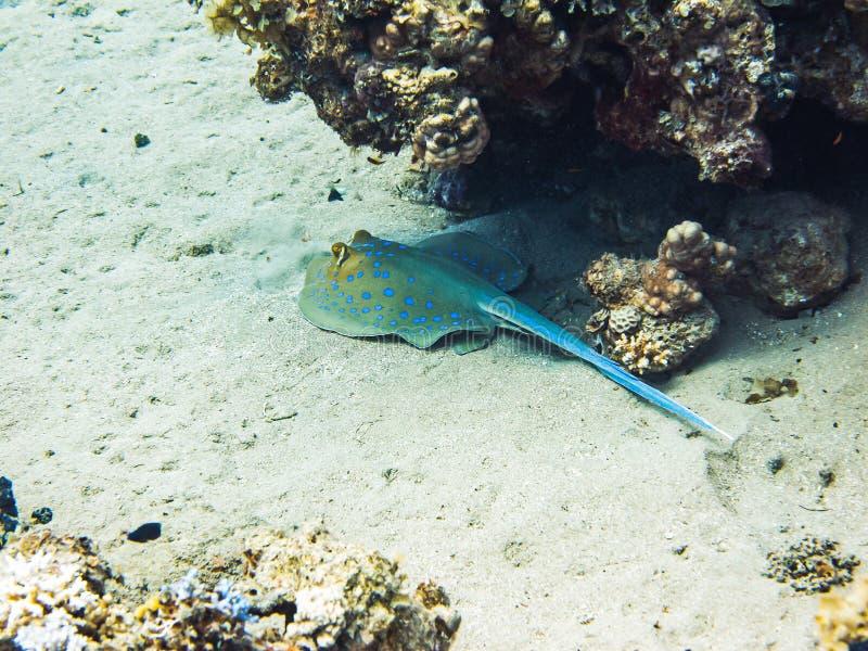 Raio do ribbontail de Bluespotted que esconde sob o recife de corais Vida marinha colorida no Mar Vermelho, Egito, Dahab imagens de stock royalty free