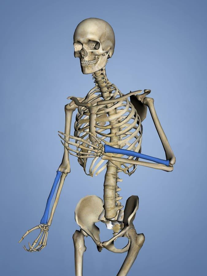 Raio, esqueleto humano, modelo 3D ilustração royalty free
