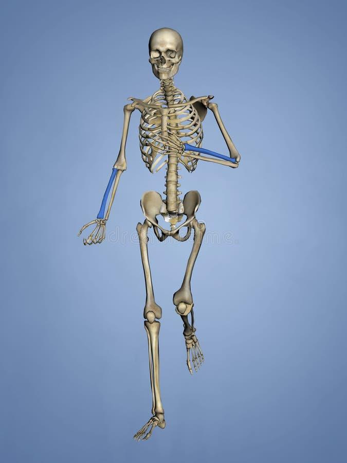 Raio, esqueleto humano, modelo 3D ilustração stock