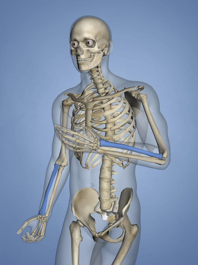 Raio, esqueleto humano, modelo 3D ilustração do vetor