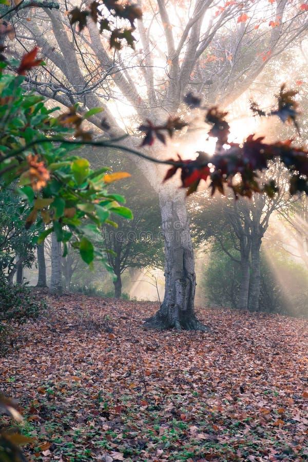 Raios da luz do sol dourada na floresta etéreo da floresta imagem de stock