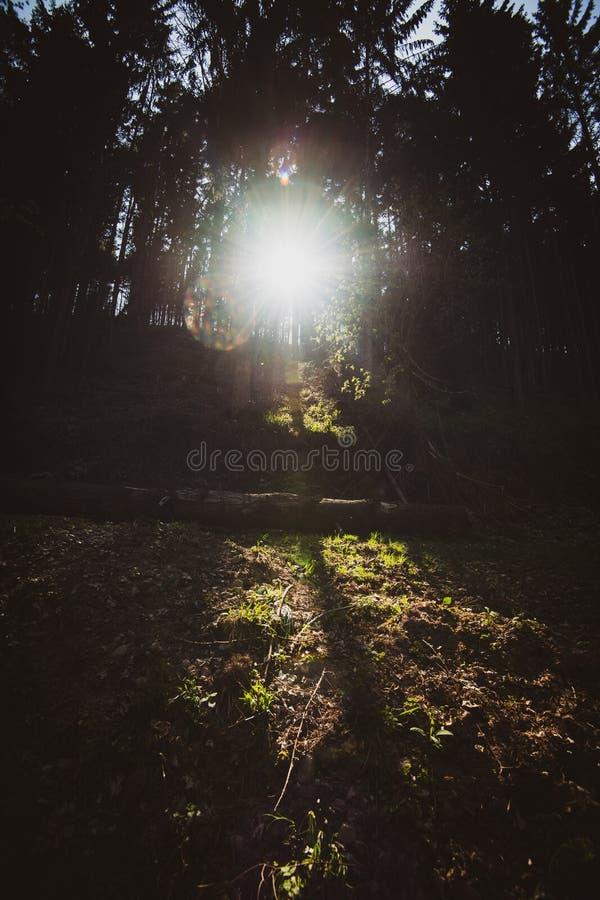 Raios da luz solar que passam através das árvores de pinhos escuras em Vosges fotos de stock royalty free