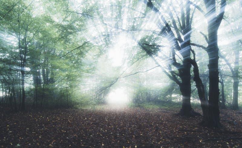 Raios de luz na floresta surreal misteriosa com névoa imagens de stock royalty free