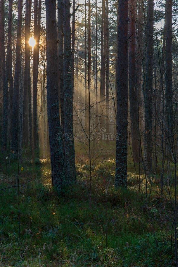 raios de luz naturais do sol que brilham através dos ramos de árvore na manhã do verão fotografia de stock royalty free