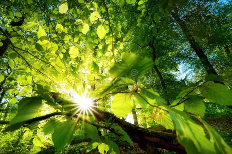 Raios de luz solar que brilham belamente através das folhas verdes fotos de stock