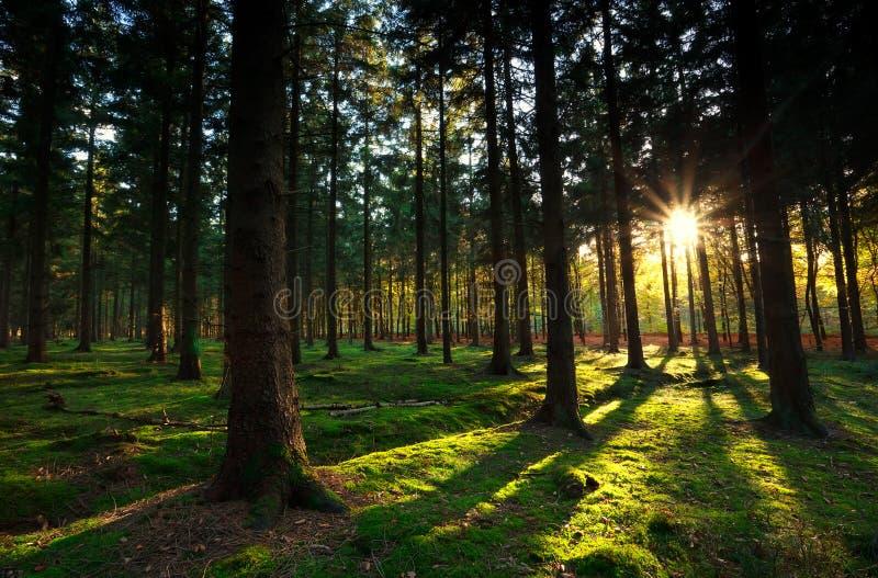 Raios de sol mornos na floresta do outono imagem de stock