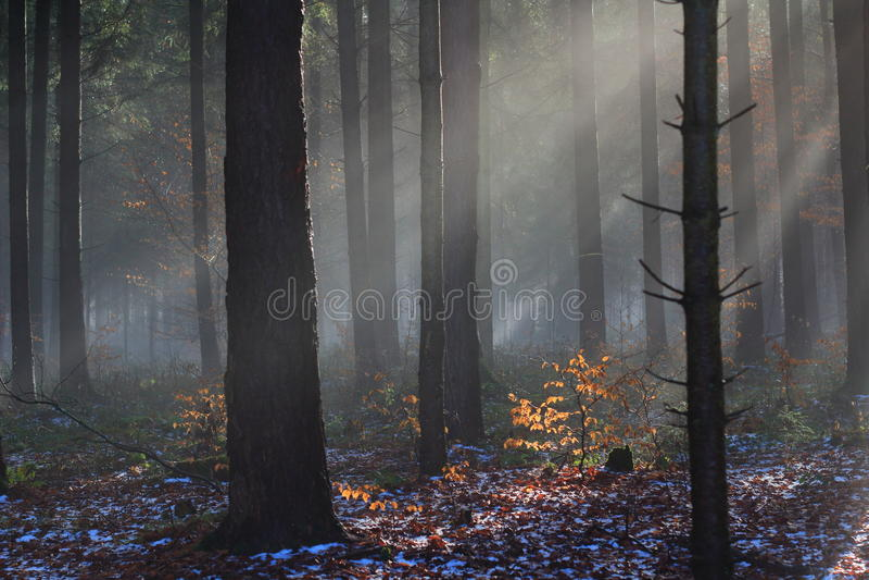 Raios de sol na floresta místico do inverno foto de stock