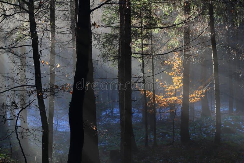 Raios de sol na floresta nevoenta do inverno imagem de stock