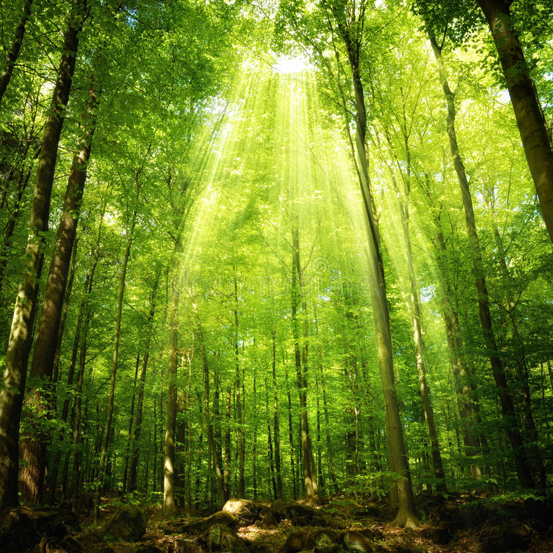 Raios de sol que caem na floresta imagem de stock royalty free