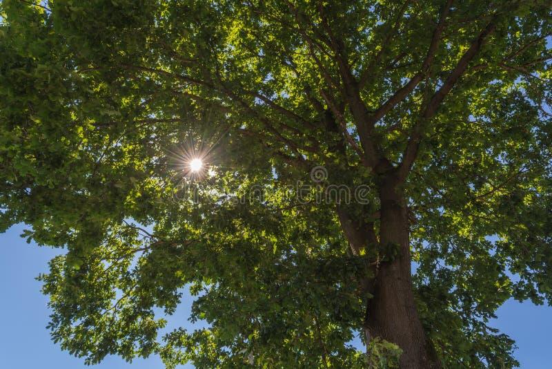 Raios de Sun através da parte superior da árvore imagem de stock royalty free