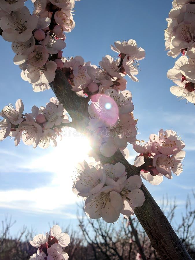 Raios de Sun através das flores do pêssego imagens de stock royalty free