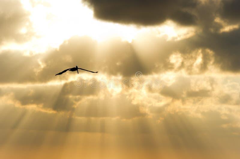 Raios de Sun da silhueta do voo do pássaro fotos de stock royalty free