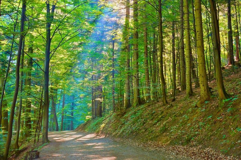 Raios de Sun na reserva natural verde da floresta decíduo foto de stock