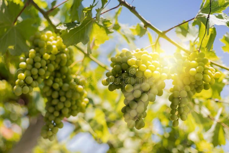 Raios de suspensão do sol das uvas brancas fotos de stock