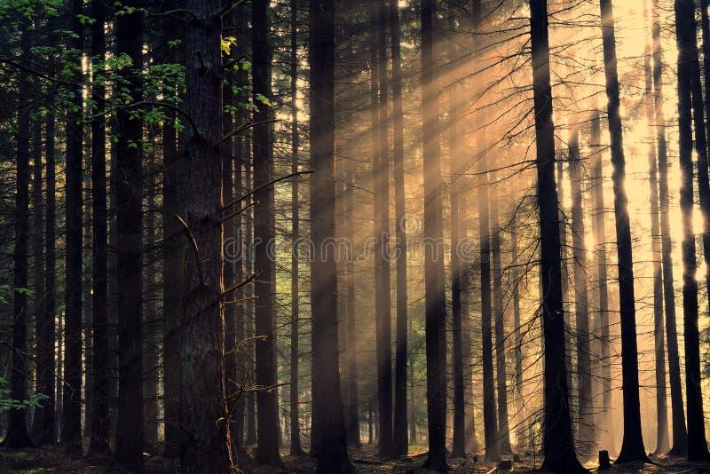 Raios do nascer do sol através das árvores fotos de stock