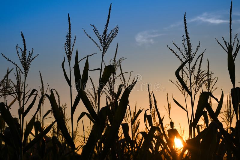 Raios do por do sol no campo de milho com o céu azul colorido fotografia de stock royalty free