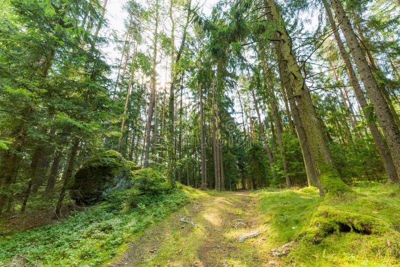 Raios verdes da floresta e do sol do verão fotografia de stock royalty free