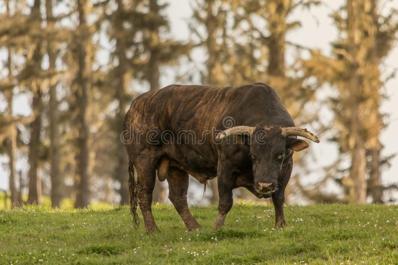 Raised for Breeding, Sire. Coastal range with fresh sea breezes is where this top sire stand high on a ridge overlooking the Pacific Ocean royalty free stock photo