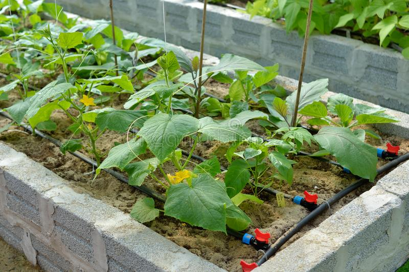 Raised vegetable bed with irrigation. Raised organic vegetable bed built with concrete blocks and with drip irrigation of the green leaf plants with water from royalty free stock photography