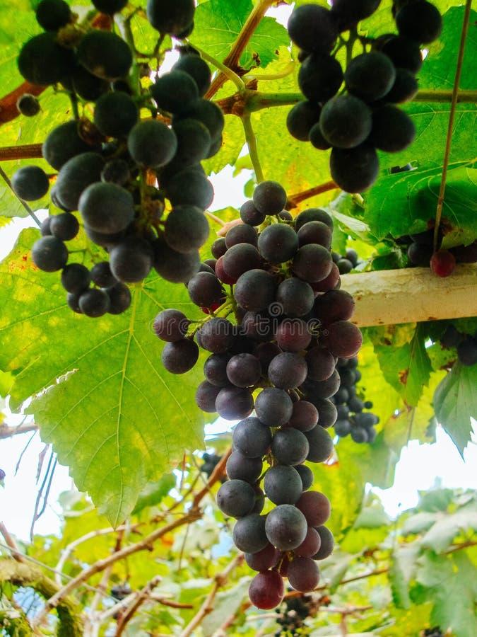 raisin images stock