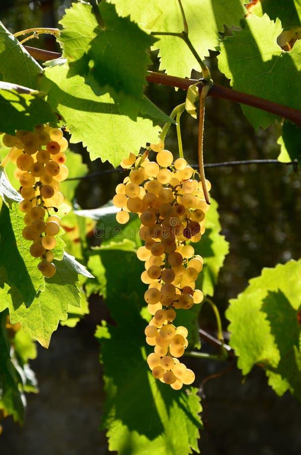 Raisin blanc sur des vignobles, région de la Toscane image libre de droits