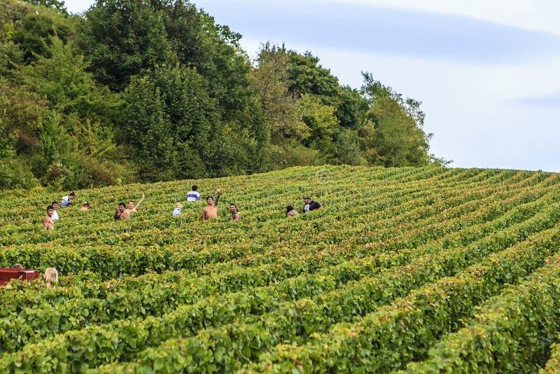 Raisin dans la région de Champagne, France images libres de droits