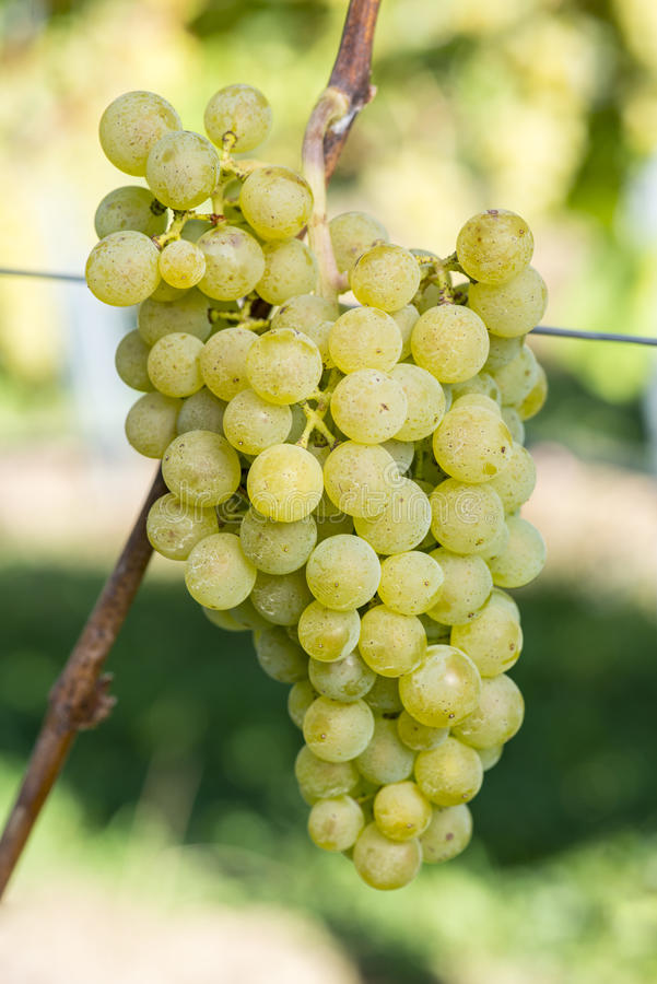Raisin mûr de ller-Turgau de ¼ de MÃ dans le vignoble avant récolte photos libres de droits