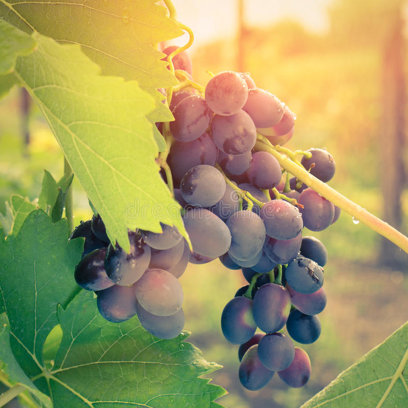 Raisin mûr sur la vigne dans la lumière de lever de soleil photographie stock libre de droits