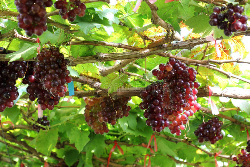 Raisin rouge de maturation images stock