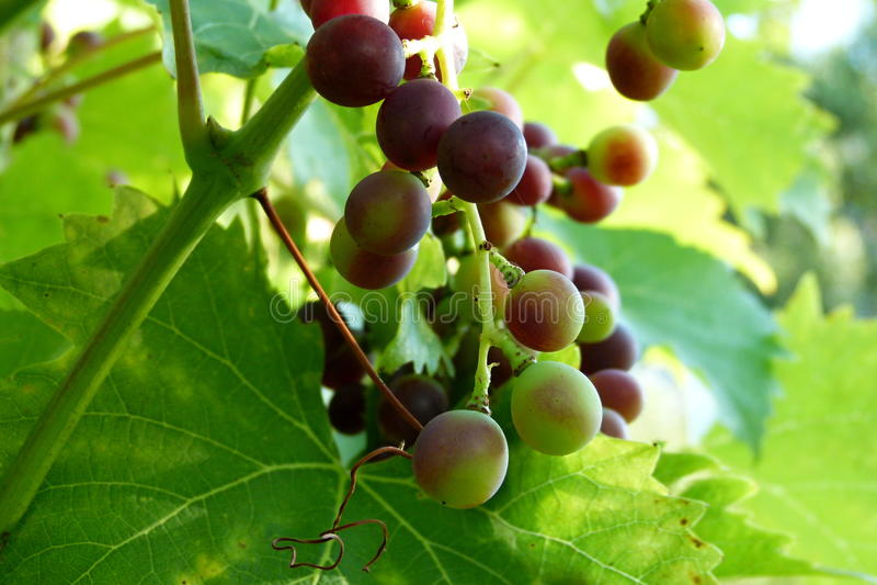 Raisin rouge de vigne photos libres de droits